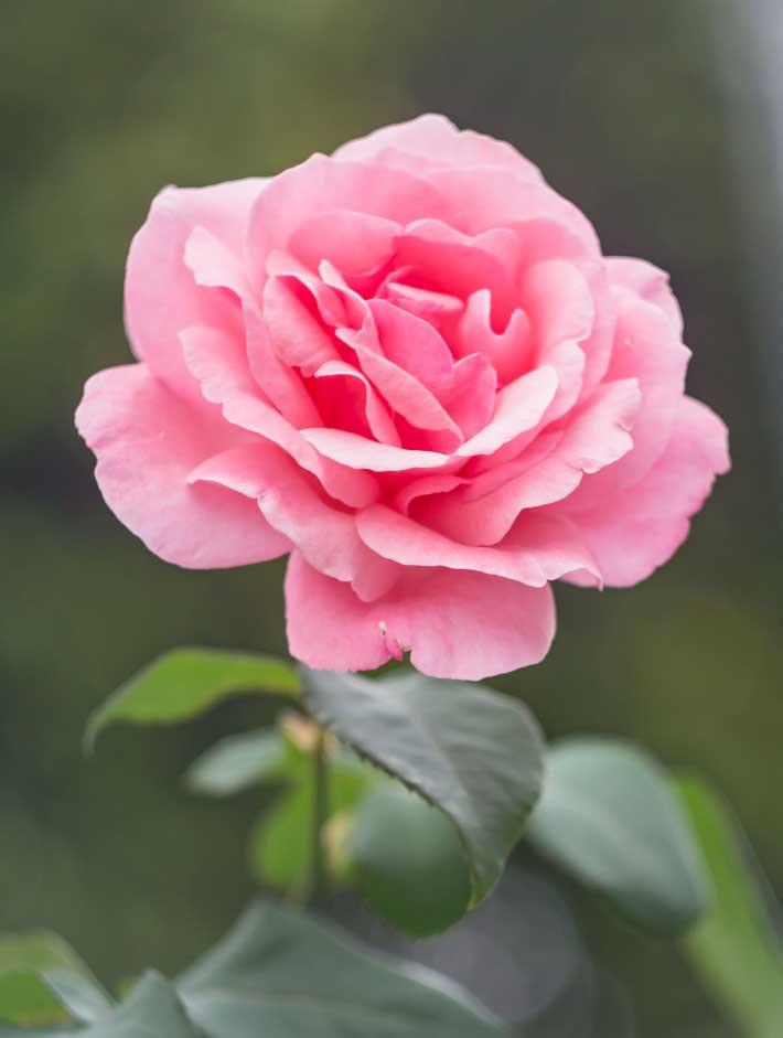 Hedera Vita ružina voda - ruža