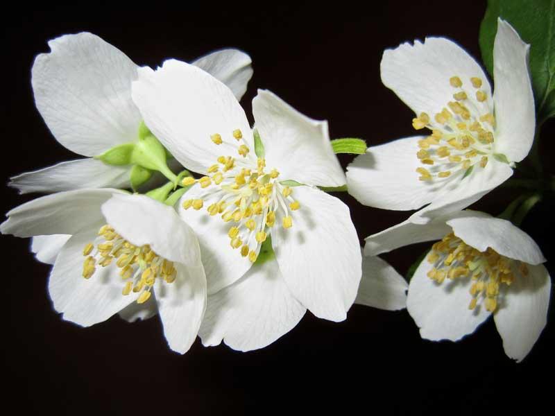 Ziaja jasmin serum - serum sa uljem jasmina